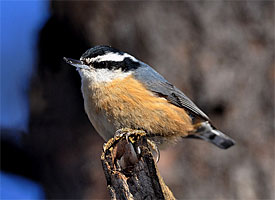 red_breasted_nuthatch_glamour1